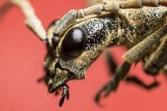 Beetle portrait. Bug macro. Royalty Free Stock Photography