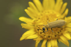 Beetle portrait with pollen face.  stock image