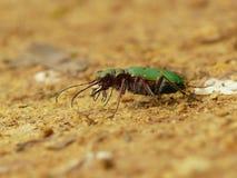 Beetle predator. Stock Images