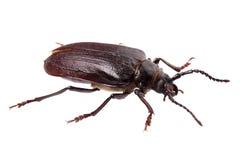 Beetle (Prionus coriarius) isolated on white Stock Image