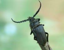 Beetle Prionus coriarius (male) Royalty Free Stock Images