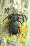 Beetle Prionus coriarius (male) Royalty Free Stock Photo