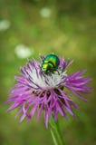 Beetle. (Protaetia Aeruginosa) on the flower Royalty Free Stock Photo