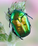 Beetle Protaetia affinis Royalty Free Stock Photo