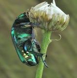 Beetle Protaetia affinis Royalty Free Stock Image