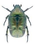 Beetle Protaetia metallica Stock Images