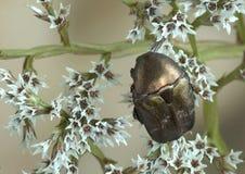 Beetle Protaetia (Potosia) cuprina Stock Photo