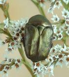 Beetle Protaetia (Potosia) cuprina Royalty Free Stock Photos