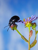 Beetle on purple flower. Macro view of black beetle climbing on purple flower with blue sky background stock image