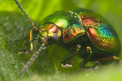 Beetle Royalty Free Stock Photography