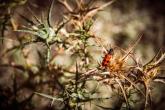 Beetle. A red and black colored beetle sits on a thorny plant Royalty Free Stock Photography