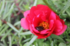 Beetle in red flower portulaca 8132 Royalty Free Stock Photography