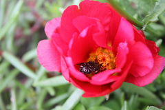 Beetle in red flower portulaca 8131 Stock Photos