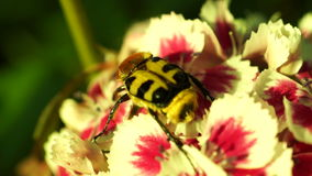 Beetle Revival In The Morning Sun On a Flower Moved By Wind.Beetles are classified in the order Coleoptera . stock video