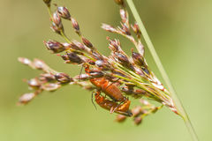 Beetle (Rhagonycha fulva) Royalty Free Stock Photos