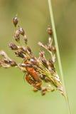 Beetle (Rhagonycha fulva) Royalty Free Stock Image