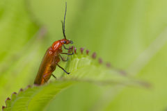 Beetle (Rhagonycha fulva) Royalty Free Stock Photography