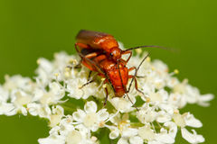 Beetle Rhagonycha fulva. Breeding on a Flower Royalty Free Stock Photos