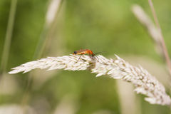 Beetle (Rhagonycha fulva) Stock Photo