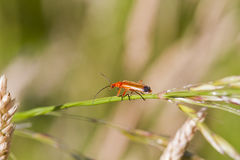 Beetle (Rhagonycha fulva) Royalty Free Stock Photo