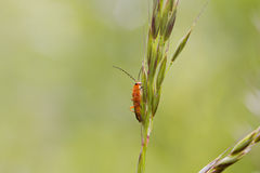 Beetle (Rhagonycha fulva) Royalty Free Stock Photography