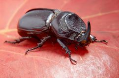 Free Beetle Rhinoceros. Royalty Free Stock Photo - 12870285