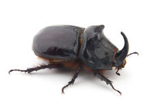 Beetle-rhinoceros Royalty Free Stock Photography