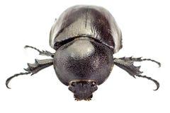 Beetle,Rhinoceros beetle, Rhino beetle, Hercules beetle, Unicorn Stock Photography