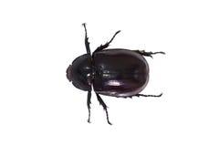 Beetle,Rhinoceros beetle, Rhino beetle, Hercules beetle, Unicorn Stock Images