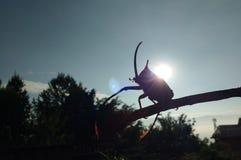 Beetle Stock Photography