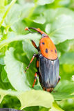Beetle Rhynchophorus ferrugineus (red palm weevil) Stock Image