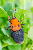 Beetle Rhynchophorus ferrugineus (red palm weevil) Royalty Free Stock Photos