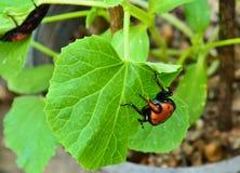Beetle Rhynchophorus Stock Images