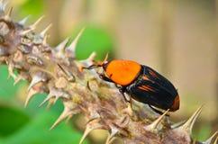 Beetle Rhynchophorus Royalty Free Stock Photography