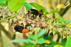 Beetle Rhynchophorus Royalty Free Stock Images