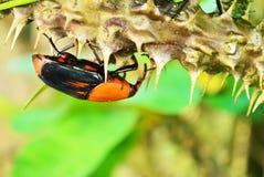 Beetle Rhynchophorus Royalty Free Stock Photo
