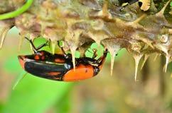 Beetle Rhynchophorus Stock Photo