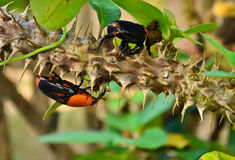 Beetle Rhynchophorus Stock Photos