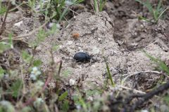 Beetle rolls dung in the field stock image