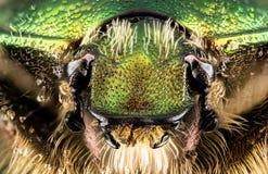 Beetle - Rose Chafer, Cetonia aurata. Focus Stacking - Beetle - Rose Chafer, Cetonia aurata Royalty Free Stock Images