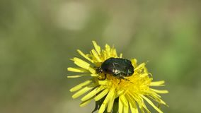 Beetle Rose Chafer or the Green Rose Chafer Cetonia aurata creeps on a dandelion flower. Close-up stock footage