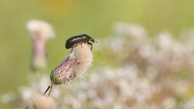 Beetle Rose Chafer or the Green Rose Chafer /Cetonia aurata/ is on a faded Creeping Thistle flower.  stock video footage