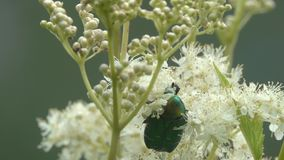 Beetle Rose Chafer or Green Rose Chafer /Cetonia aurata/ is on Filipendula flowe stock video