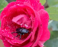 Beetle in rose. Beetle inside a red rose covered with rain drops Royalty Free Stock Photography