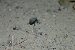 Beetle on a sand royalty free stock photos