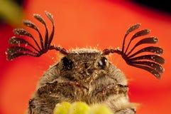 Free Beetle Sanjuanero Portrait, Melolontha Melolontha, Beetles Stock Image - 158263141