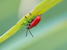 Beetle. The scarlet lily beetle (Lilioceris lilii) on a lily leaf stock images