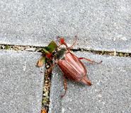 Beetle on the sidewalk Stock Images