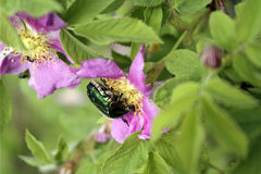 Beetle sight cetonia aurata on a flower of wild rose. Beetle species of golden chafer, summer day on a flower of wild rose Stock Photography