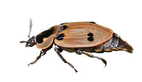 Beetle (Silphidae) 6 Royalty Free Stock Image